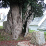 The Zeal Monachorum yew